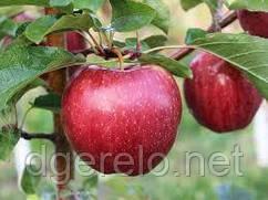 Саженцы яблони осенней Хидден Роуз