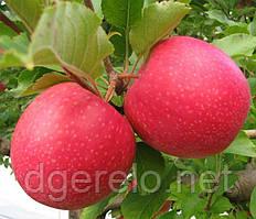 Саженцы яблони зимней Пинк Леди