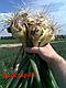 Семена лука Балстар F1 \ Balstar F1 1кг  (озимый) Seminis, фото 6