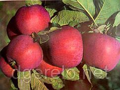 Яблоня летняя ранняя Фукутами. Саженцы яблони среднерослой