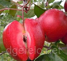 Яблоня красномясая Ред Кети. Осенний сорт, среднерослый подвой
