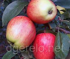 Яблоня летняя Каравелла. Крупный плод и супер вкус