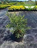 Sequoiadendron giganteum, Секвоядендрон велетенський,C2 - горщик 2л, фото 2
