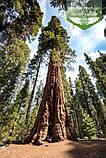Sequoiadendron giganteum, Секвоядендрон велетенський,C2 - горщик 2л, фото 3