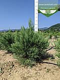 Sequoiadendron giganteum, Секвоядендрон велетенський,C2 - горщик 2л, фото 4