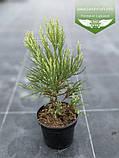 Sequoiadendron giganteum, Секвоядендрон велетенський,C2 - горщик 2л, фото 5
