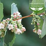 Symphoricarpos doorenbosii 'White Hedge', Сніжноягідник Доренбоза 'Вайт Хедж',C2 - горщик 2л, фото 2