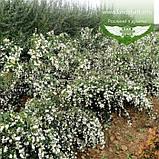 Symphoricarpos doorenbosii 'White Hedge', Сніжноягідник Доренбоза 'Вайт Хедж',C2 - горщик 2л, фото 3