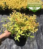 Spiraea japonica 'Goldmound', Спірея японська 'Голдмаунд',P7-Р9 - горщик 9х9х9, фото 5