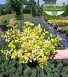 Spiraea japonica 'Goldmound', Спірея японська 'Голдмаунд',P7-Р9 - горщик 9х9х9, фото 7