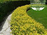 Spiraea japonica 'Goldmound', Спірея японська 'Голдмаунд',P7-Р9 - горщик 9х9х9, фото 8
