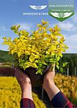 Spiraea japonica 'Goldmound', Спірея японська 'Голдмаунд',P7-Р9 - горщик 9х9х9, фото 10