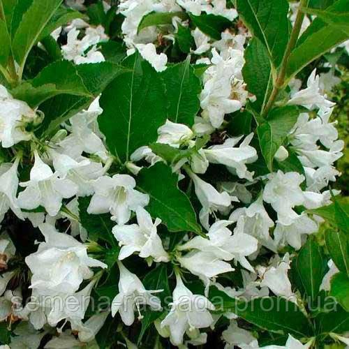 Вейгела гібридна Candida (контейнер 3 л; розмір саджанця 40-50 см)