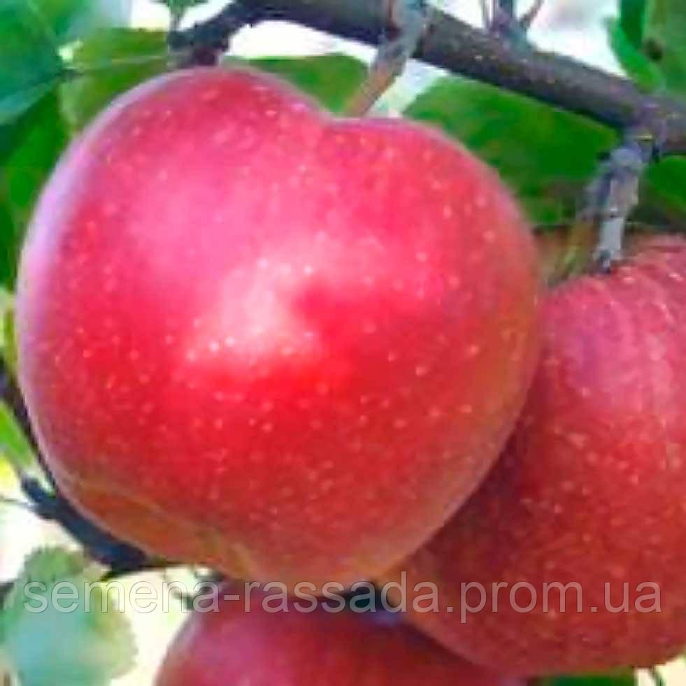 Яблуня Джонаголд (контейнер 15 л; вік саджанця 3 года)
