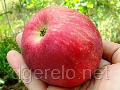 Яблоня - сорт Слава победителю (летний)