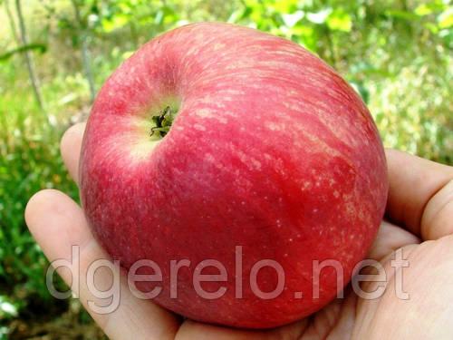 Яблоня - сорт Слава победителю(летний) М9, 106