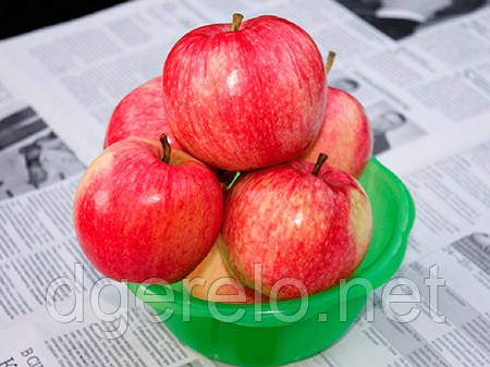 Саженцы яблони - сорт Мелба(летний) М9,106