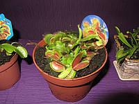 Цветок мухоед большой плотоядное растение