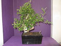 Перечное дерево Бонсай , фото 1