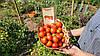 """Насіння томатів """"Черрі"""", фото 7"""