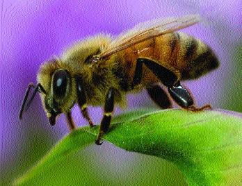 Нозематоз бджіл в нуклеусних сім'ях