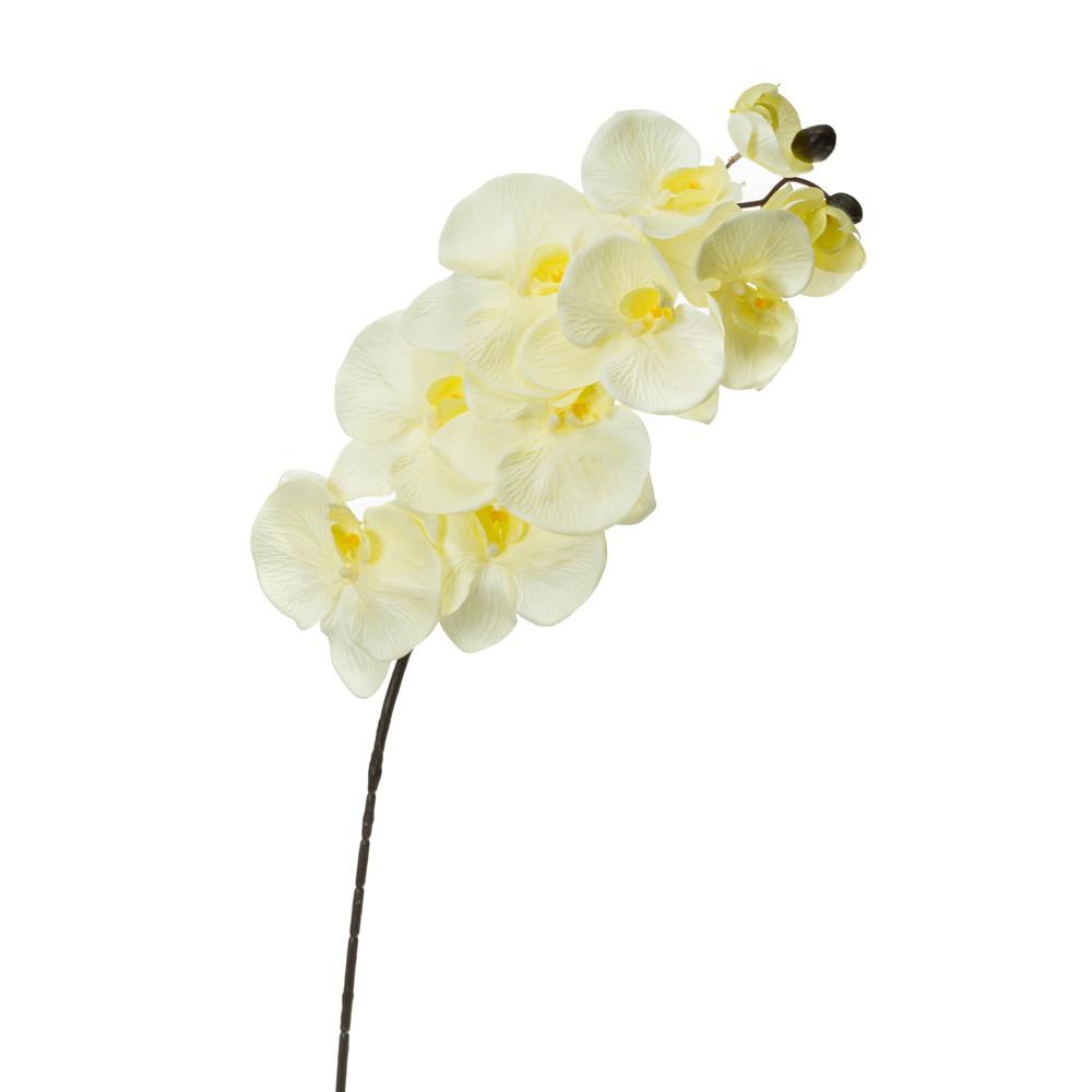 Орхідея онцидиум, кремова