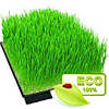 Зелёные ростки  ячменя, лоток