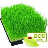 Зелёные ростки органической пшеницы, лоток