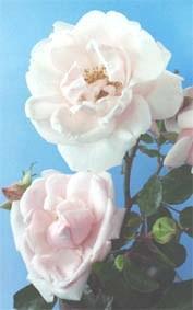 Роза в'юнка Нью даун. У контейнерах 0.5 л.