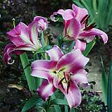 Лілія Purple Lady лілейне дерево Новинка, фото 3