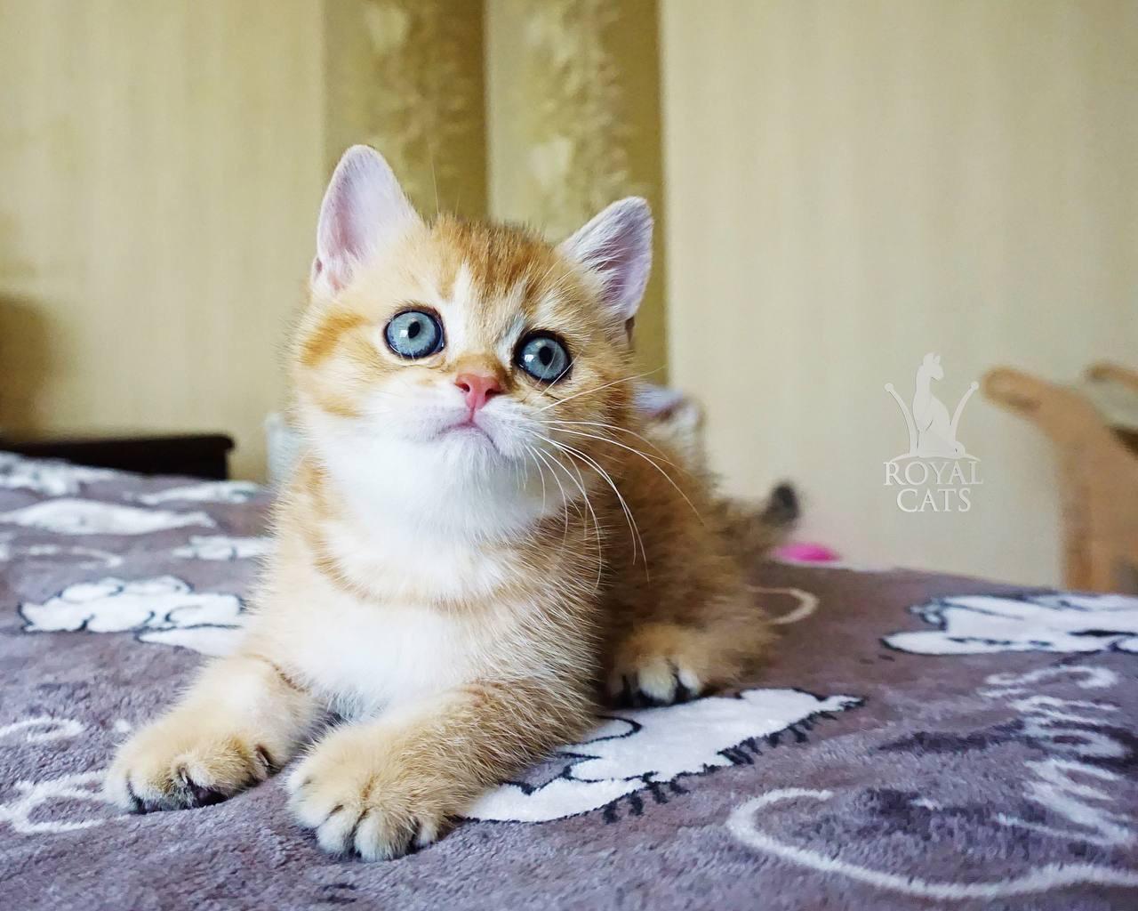 Дівчинка. Шотландська прямоухая золота шиншила, народжений 31.05.2021 в розпліднику Royal Cats. Україна, Київ