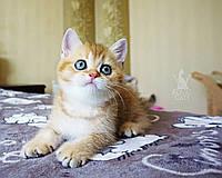 Дівчинка. Шотландська прямоухая золота шиншила, народжений 31.05.2021 в розпліднику Royal Cats. Україна, Київ, фото 1