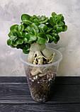 Адениум мини  (взрослое растение), фото 2