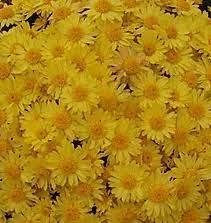 Хризантема желтая мультифлора Popcorn. В контейнерах Д5.