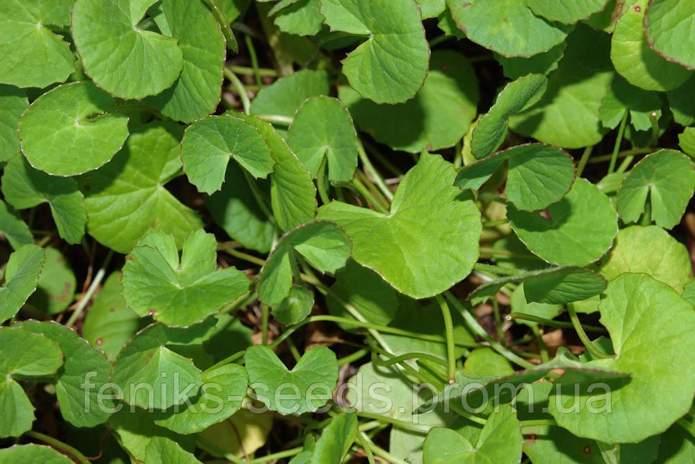 Семена Готу Кола - Пища для мозга или Трава Памяти