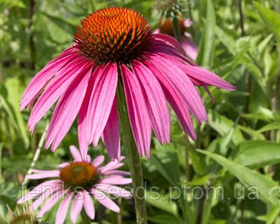 Эхинацея (цветы)