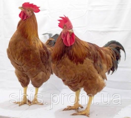 Инкубационное яйцо Редбро (Redbro)