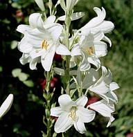 Лилия белая ( корень) 50 грамм