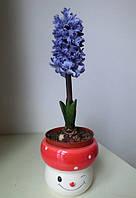Гиацинт восточный цвет синий 1 упаковка 10 семян