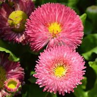 Семена ромашки розовая 1 упаковка 10 семян