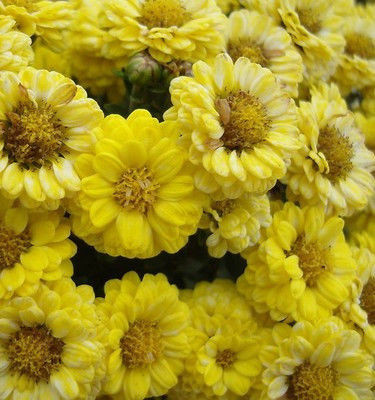 Семена английской ромашки 1 упаковка 10 семян желтая