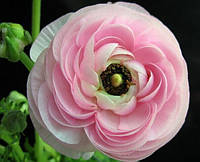Семена лютика asiaticus1 упаковка 10 семян розовый