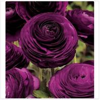 Семена лютика asiaticus1 упаковка 10 семян фиолет