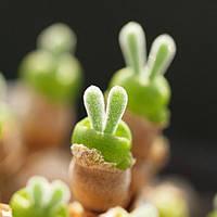 Семена кролик Semillas 1 упаковка 10 семян