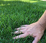 70грн/кг мешок 25кг Газон-Распродажа 2021 семена газонных трав оптом по низким ценам, фото 6