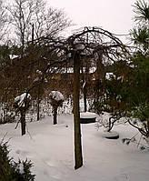 Вяз голый 'Пендула' Ulmus glabra 'Pendula' C285L 30-35