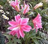 Лилия Roselily Isabella махровая, фото 2