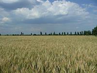 Подсеять или пересеять озимую пшеницу? Алгоритм весенней оценки слабых посевов.