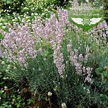Lavandula angustifolia 'Rosea', Лаванда вузьколиста 'Розеа',C2 - горщик 2л
