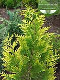 Chamaecyparis lawsoniana 'Alumigold', Кипарисовик Лавсона 'Алюміголд',WRB - ком/сітка,60-80см, фото 3